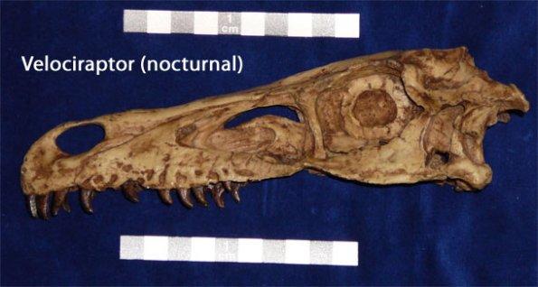 Ryc. 1 Zdarzają się przypadki z zachowanymi w czaszce kostnymi płytkami pierścienia twardówkowego. Tu widzimy to na przykładzie czaszki Velociraptor.