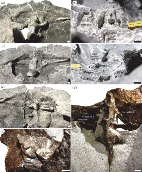 Granica między szyją a tułowiem u najwcześniejszych żółwi. Pierwszy kręg tułowiowy u bardziej zaawansowanych żółwi został wyłączony z pancerza i przeszedł do odcinka szyjnego. A-E, Proterochersis porebensis z Poręby; F-G, Keuperotesta limendorsa z Niemiec